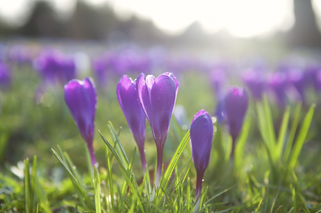 purple crocus flowers outdoors