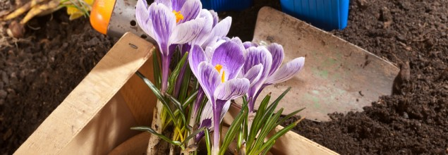 Grow Your Own Crocus School Project