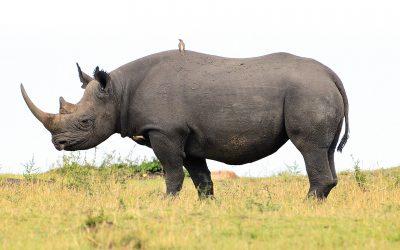 Endangered species black rhino