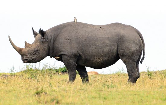 Endangered species black rhino