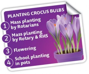 P4P Menu - Planting crocus bulbs