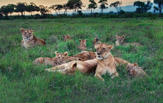 lions graze in african savannah