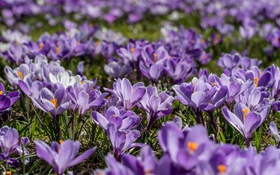 purple crocus flowers end polio now purple4polio