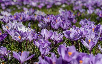 purple crocus flowers end polio now purple4polio