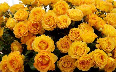 rotary rose